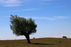 Two cows and a tree Royalty Free Stock Images