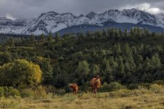 Two cows under Mount Sneffels and San Juan Mountains in Autumn,. September 23, 2017 - Two cows under Mount Sneffels and San Juan Mountains in Autumn, outside stock image