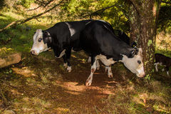 Two cows Royalty Free Stock Photo