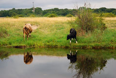 Two cows by water. Baltic spit, Baltiysk, Russia Stock Photo