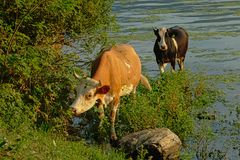 Two cows in the water next to the green embankment of river Danube stock photo