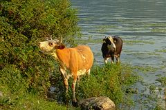 Two cows in the water next to the green embankment of river Danube, eating from shrubs royalty free stock photo