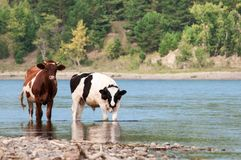 Two cows at a watering place by the river. Brown and variegated. Country style. In the background, the river bank and pine forest.  royalty free stock photo