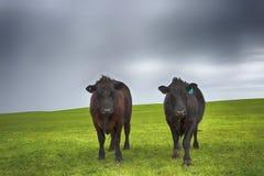 Winter Cows in Wet Field. stock photo