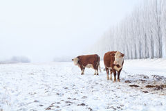 Two cows on winter pasture Stock Images