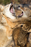 Two coyote fighting by standing up. Two coyotes challenging each other for dominance Royalty Free Stock Image