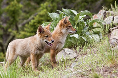 Two Coyote puppies Royalty Free Stock Photos