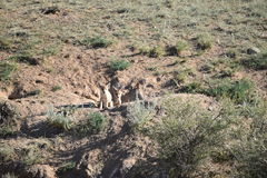 Two 2 coyote pups Royalty Free Stock Photos