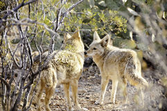 Two Coyotes Royalty Free Stock Images