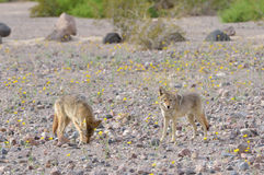 Two coyotes foraging for food Stock Image