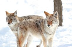 Two coyotes in snow Stock Images