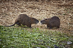 Two coypus, similar at large rats, watching heach other not in a. Two arguing coypus,  herbivorous semiaquatic rodents with webbed feet and coarse fur Stock Images