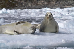 Two crabeater seal on an ice floe Stock Photos