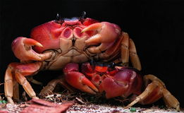Two Crabs Royalty Free Stock Images