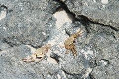 Mystery Island Crabs. Two crabs crawling around the shoreline rock on Mystery Island, Vanuatu Stock Photos