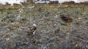 Two crabs eating on rocky ground stock video footage
