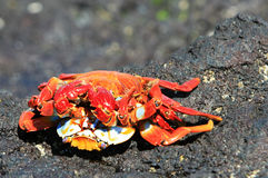 Two Crabs Mating Royalty Free Stock Images
