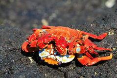 Two crabs mating Stock Photography