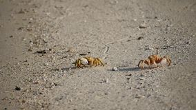 Two crabs run on the sand of the Egyptian beach. Sea crabs running across the sand of the Egyptian beach stock video