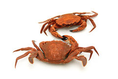 Two crabs shaking hands Royalty Free Stock Photos