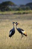 Two cranes. Africa kenya birds stock photos