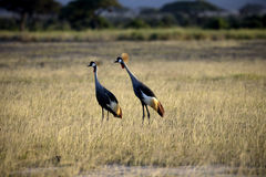 Two cranes. Africa kenya wildlife stock photos