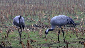Two Cranes in a field. Pair Cranes (Grus grus) in a corn field stock video