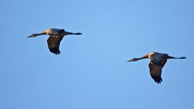 Two Cranes in Flight Royalty Free Stock Photo