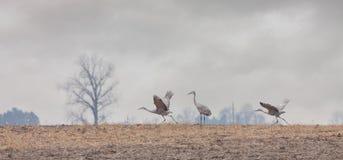 Two Cranes Prepare for Flight. Two sandhill cranes prepare for fight into a stormy autumn sky stock image