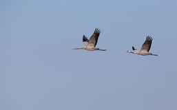 Two cranes on the sky Stock Images