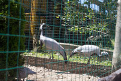 Two cranes Zoo Royalty Free Stock Images