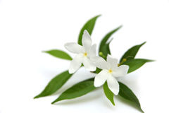 Two crape Jasmine flowers Royalty Free Stock Image