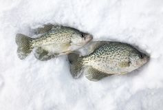 Two Crappies caught ice fishing Stock Images