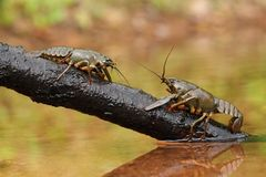 Two crawfishes Royalty Free Stock Images
