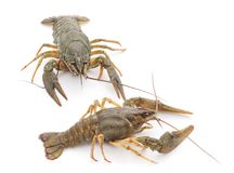 Free Two Crayfishes. Royalty Free Stock Photography - 100917477