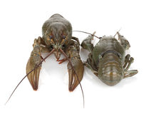Two crayfishes Royalty Free Stock Photo