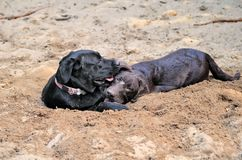 Two crazy labradors Stock Photo