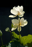 Two Cream-Colored Water Lilies Stock Photo
