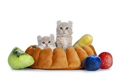 Two cream with white American Curl cat kittens, Isolated on white background.n