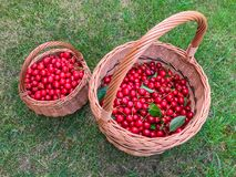 Two creels with cherries on grass Stock Photos