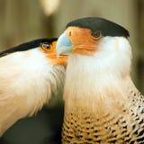 Two crested caracara bird cleaning Stock Photos