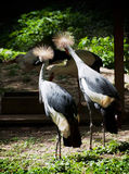 Two crested cranes (Balearica regulorum gibbericeps) look around Stock Photography