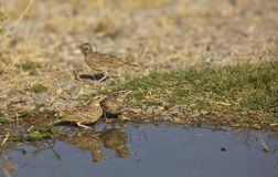 Two Crested Larks (Galerida cristata) Stock Image