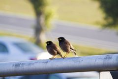Two Crested myna,Acridotheres cristatellus Royalty Free Stock Image