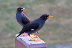 The two Crested Myna birds Stock Image