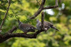 Crested Pigeons Lounge on Unique Branch stock photo