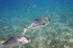 Two Crevalle jack. In the ocean Stock Images