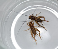 Two crickets. Creep in a glass mug Royalty Free Stock Images