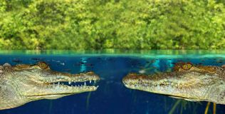 Two crocodile face each other in mangrove swamp Stock Photos