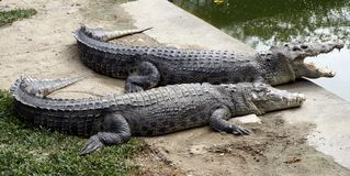 Two crocodile, a married couple on vacation.  Stock Photo